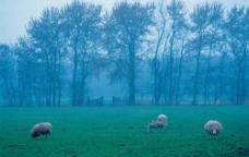 羊群在草地上吃草图片