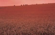 麦田成熟的麦子图片
