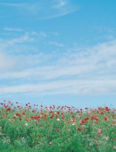 蓝天白云下的花丛图片